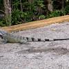 Cu 0750 Groene leguaan (Iguana iguana)