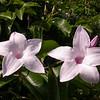 Cu 0020 Cryptostegia grandiflora