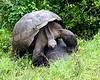 Giant Tortoises, love making