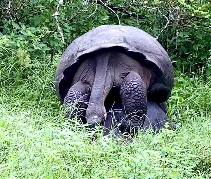 Video of copulating turtles