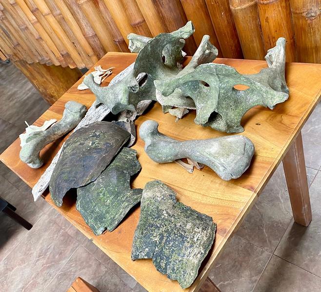 Various giant tortoise bones