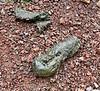 Giant Tortoise poop