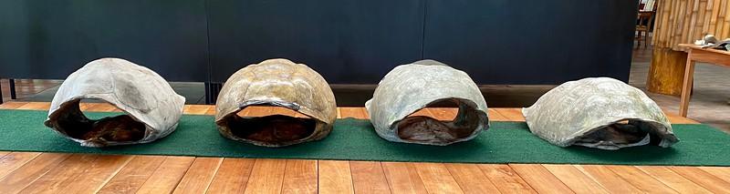 Various giant tortoise shells on display