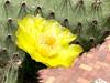 Cactus bloom, San Cristobal Harbor