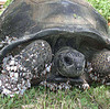 """The Kimbiji Tortoise: (Photo by Catherine Muir)<br /> """"This Aldabra giant tortoise, Dipsochelys dussumieri (Gray, 1831), crossed several hundred kilometres of open ocean and was found, on 14 December 2004, walking out of the sea, 35 km south of Dar es Salaam, Tanzania [from island to continent]. It was in an emaciated condition and with an extensive growth of goose barnacles (Lepadidae). The animal was female and weighed 25 kg with a carapace measuring 77 cm long and 74 cm wide.""""<br /> <br /> PAPER: """"The First Substantiated Case of Trans-oceanic Tortoise Dispersal""""<br /> JUSTIN GERLACH, CATHARINE MUIR & MATTHEW D. RICHMOND"""