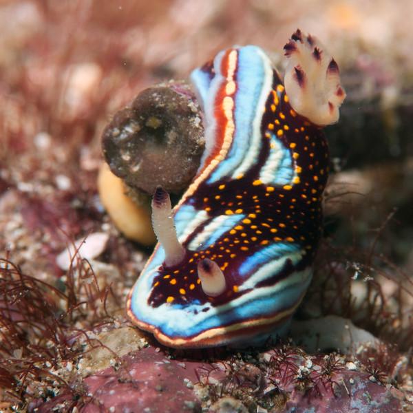 Felimida sp. (?) cf sphoni<br /> Cousin's Rock, Galapagos, Ecuador<br /> Photo by Ross Makulec