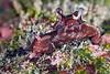 Aplysia hooveri<br /> Galapagos, Ecuador