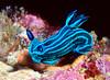 Tamja mullineri, nudibranch<br /> Galapagos, Ecuador
