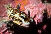 Felimare sp.<br /> Galapagos, Ecuador