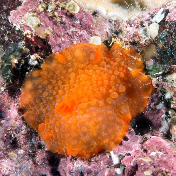 Dorid sp.<br /> Galapagos, Ecuador