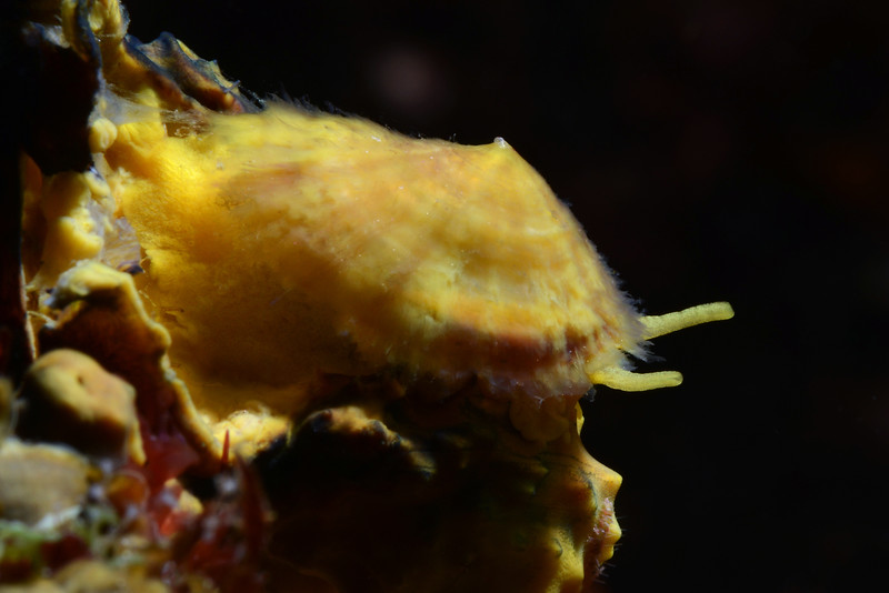 Tylodina fungina<br /> Galapagos, Ecuador