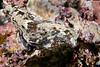 Navanax aenigmaticus<br /> Galapagos, Ecuador