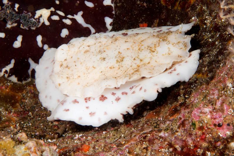 Platydoris carolynae, ventral perspective<br /> Galapagos, Ecuador