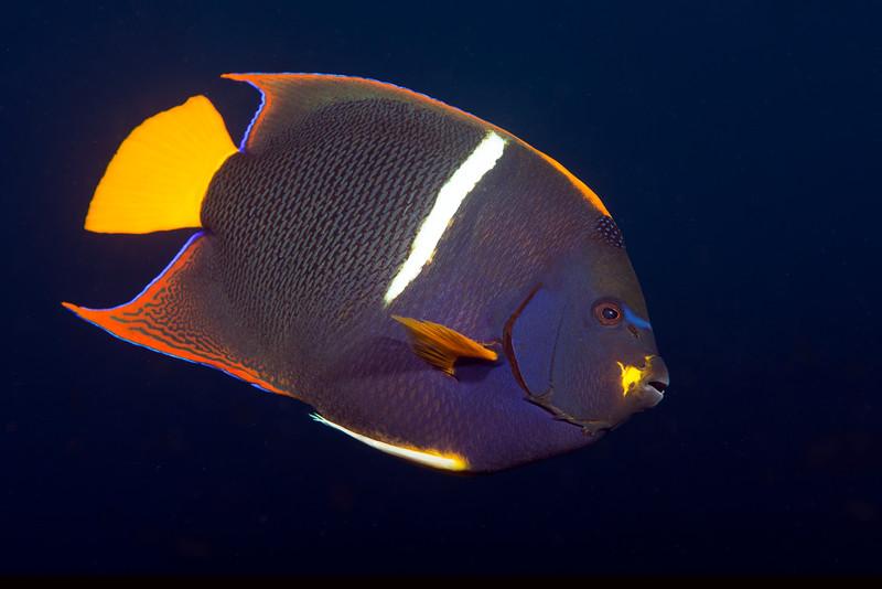 200201_Angelfish8