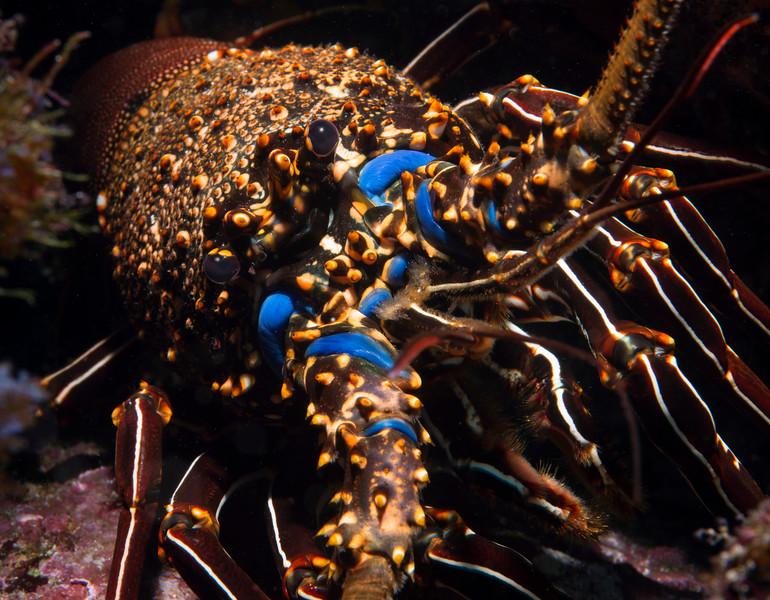 200201_Lobster
