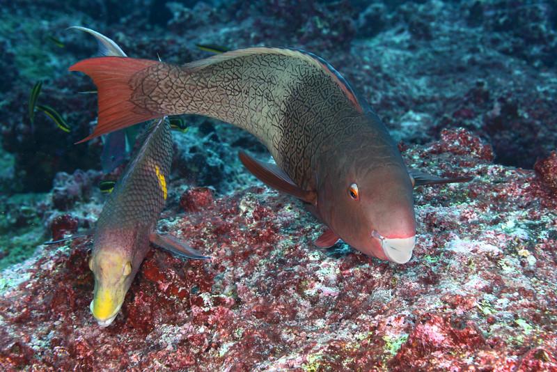 200131_Parrotfish2