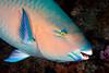 200131_Parrotfish