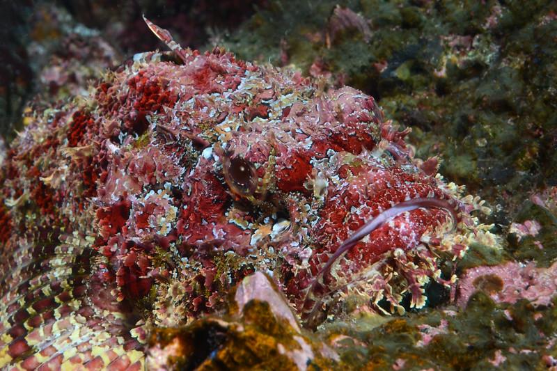 200201_Scorpionfish