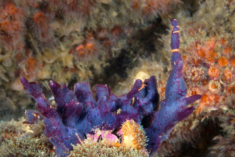 Sponge with Ophiothela stars<br /> Douglas Cape, Fernandina Island, Galapagos; approx. 30fsw