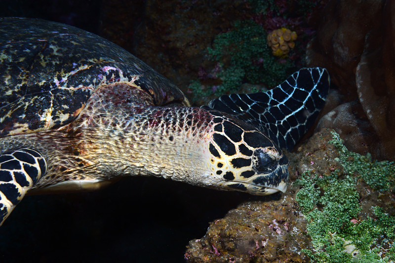 Green sea turtle, Chelonia mydas<br /> Galapagos, Ecuador