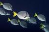 Prionurus laticlavius, Razor Surgeonfish.<br /> Galapagos, Ecuador