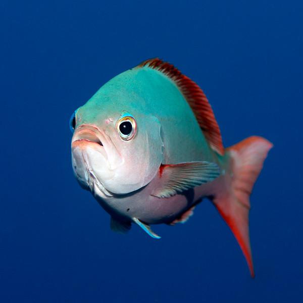Paranthias colonus, Creole Fish