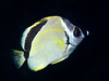 Johnrandallia nigrirostris, Barberfish, Blacknose Butterflyfish<br /> Galapagos, Ecuador