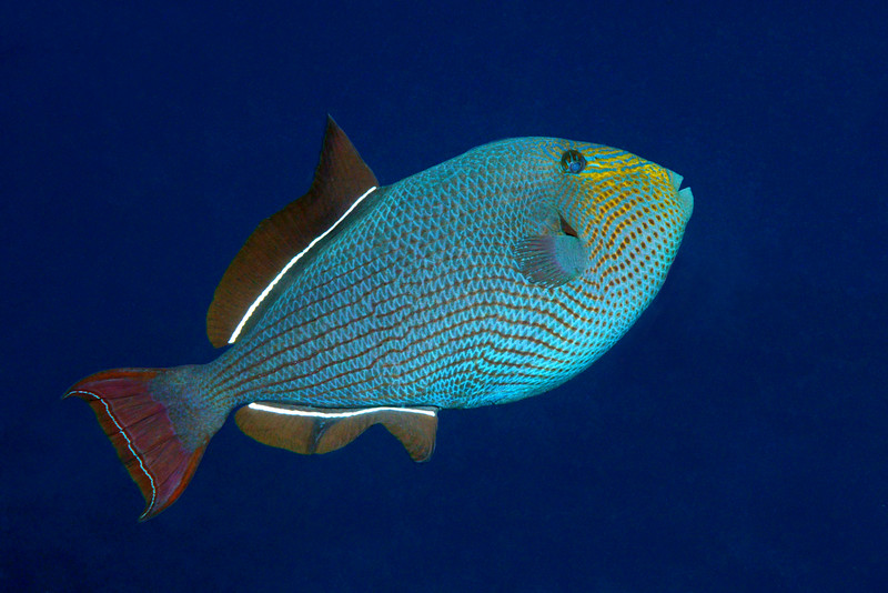 200130_Triggerfish