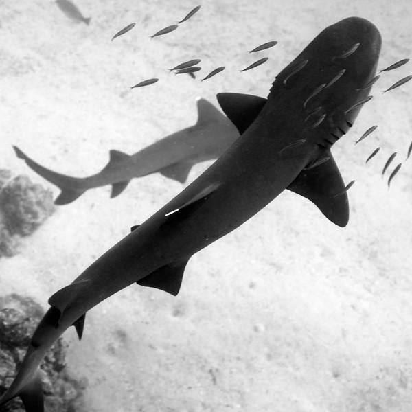 Triaenodon obesus, Whitetip Reef Shark<br /> Galapagos, Ecuador