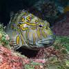 200130_GiantHawkfish