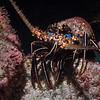 200201_Lobster3