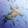 Sphyrna lewini, Scalloped Hammerhead Shark<br /> Darwin Island, Galapagos, Ecuador