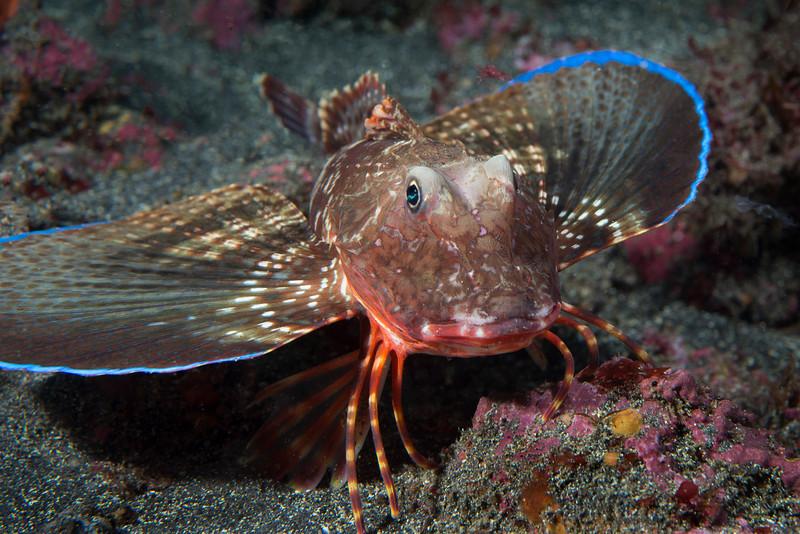 Triglidae, Sea Robin<br /> Galapagos, Ecuador
