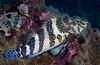 200201_GiantHawkfish