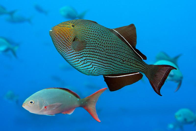 200130_Triggerfish2
