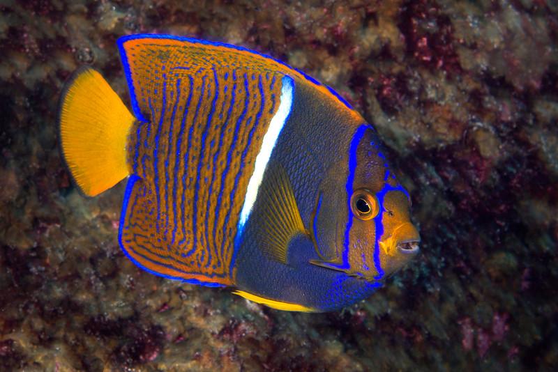 200201_Angelfish2