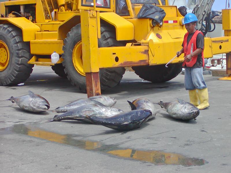 Offloading tuna from fishing boat, Manta, Ecuador