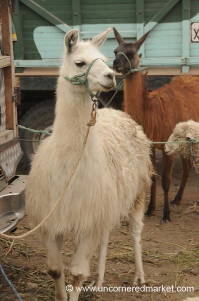 Fluffy, White Llama - Saquisili, Ecuador