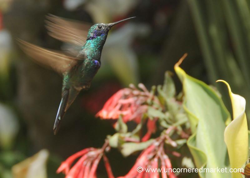 Hummingbird in Action - Chordeleg, Ecuador