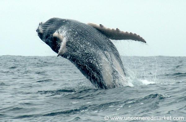 Humpback Whale Backflip - Puerto Lopez, Ecuador