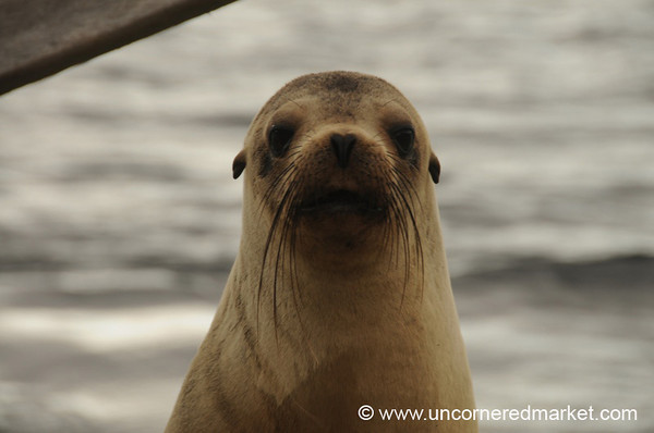 Sea Lion Welcome - Galapagos Islands