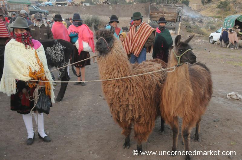 Prized Llamas - Zumbahua, Ecuador