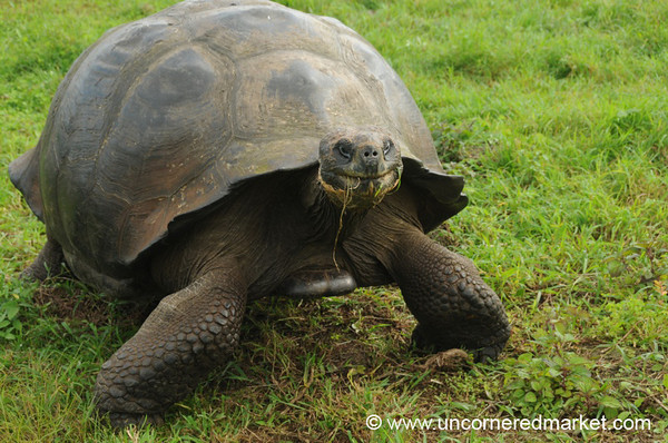 Giant Tortoise on the Move - Galapagos Islands