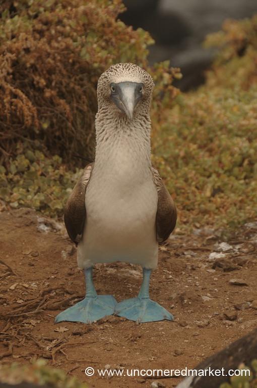 Barbara the Blue-Footed Booby - Galapagos Islands