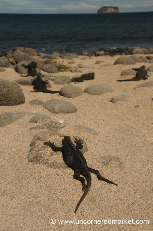 Lizard Sunbathing - Galapagos Islands