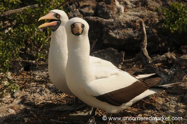 Nice Pair of Boobies - Galapagos Islands