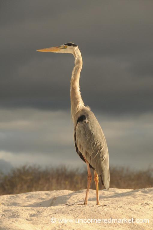 Heron Watch - Galapagos Islands