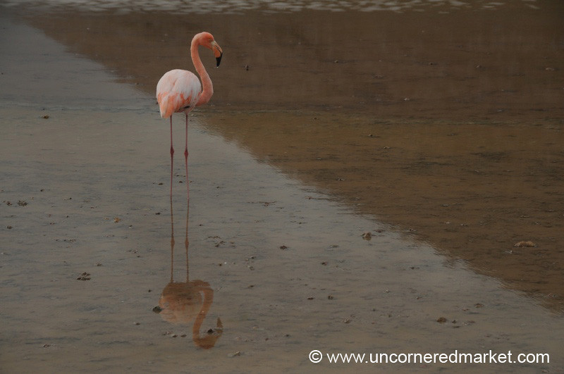 Flamingo Stance - Galapagos Islands