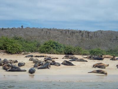 Sea lions - Santa Fé Island