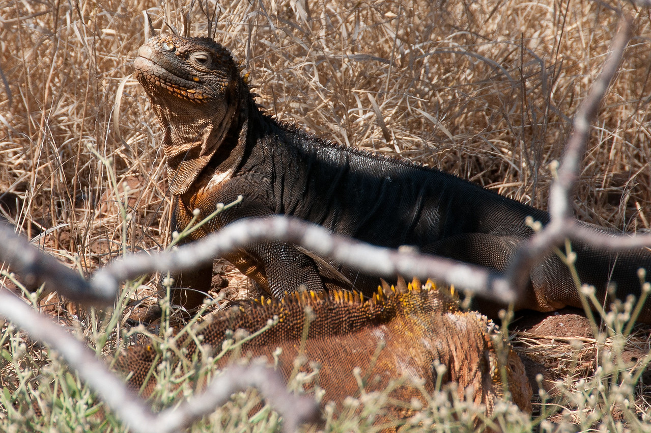 Marine iguanas in the Galapagos Islands